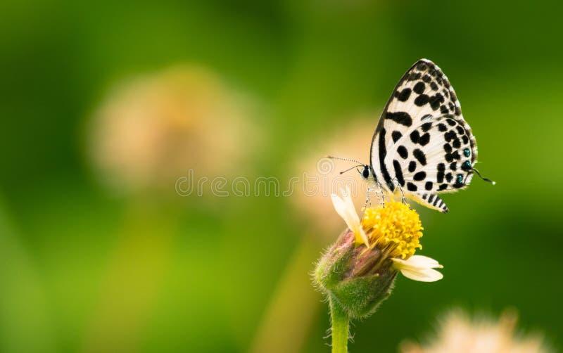 Gemeenschappelijke die pierrotvlinder op een bloem is geland stock fotografie
