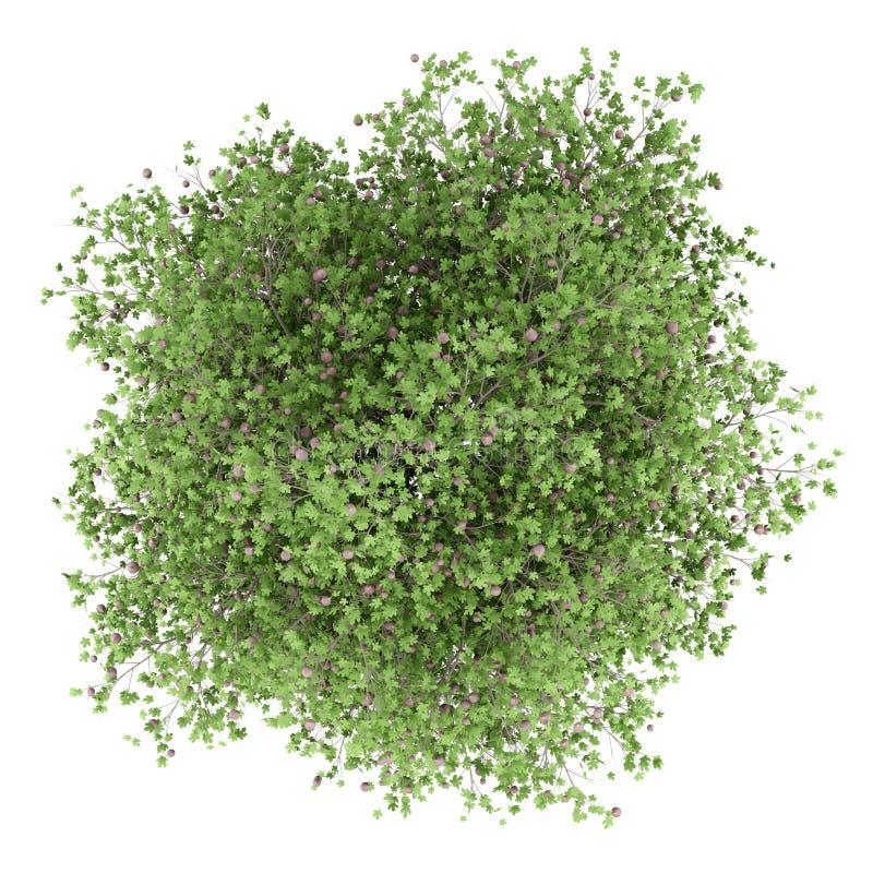 Gemeenschappelijke die vijgeboom met fig. op wit worden geïsoleerd Hoogste mening stock illustratie