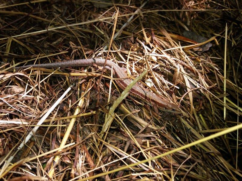 Gemeenschappelijke die viviparous hagedis die en op oud hooi wordt gecamoufleerd zonnebaden stock afbeeldingen