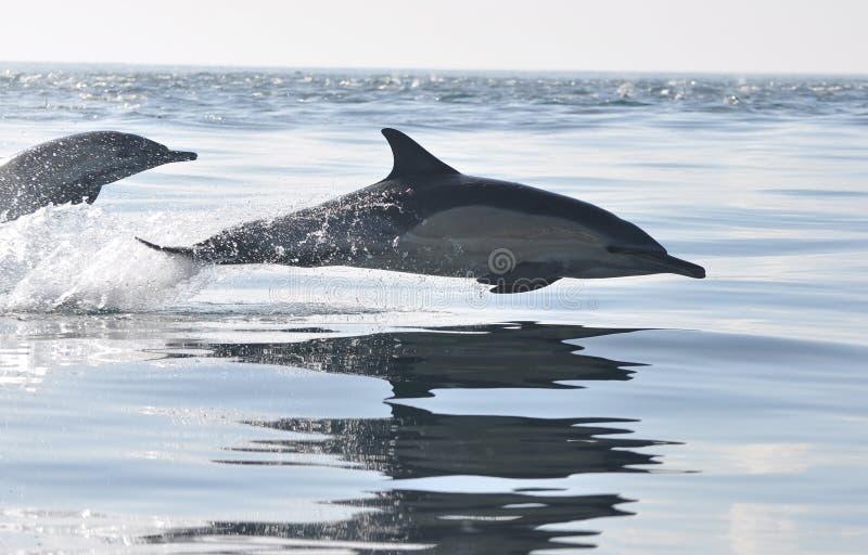 Gemeenschappelijke Dolfijn die in Zuid-Afrika springt stock afbeeldingen