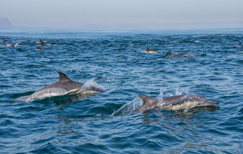 Gemeenschappelijke dolfijnen stock fotografie