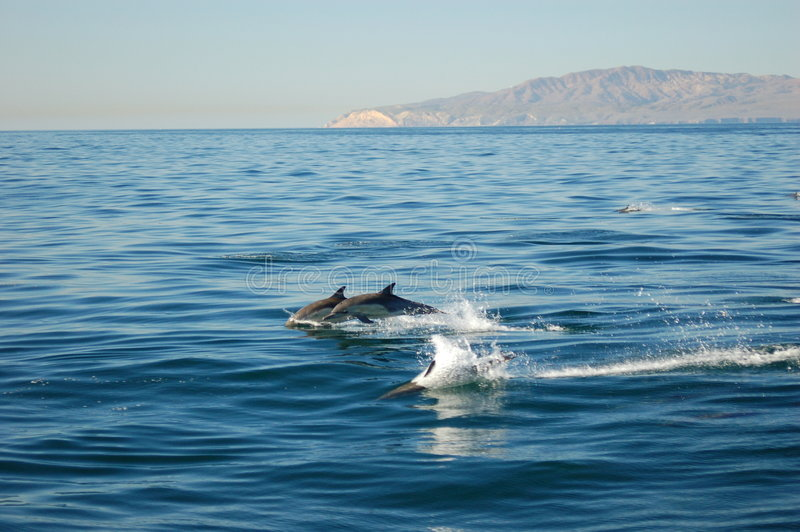 Gemeenschappelijke Dolfijnen met Eiland royalty-vrije stock afbeeldingen