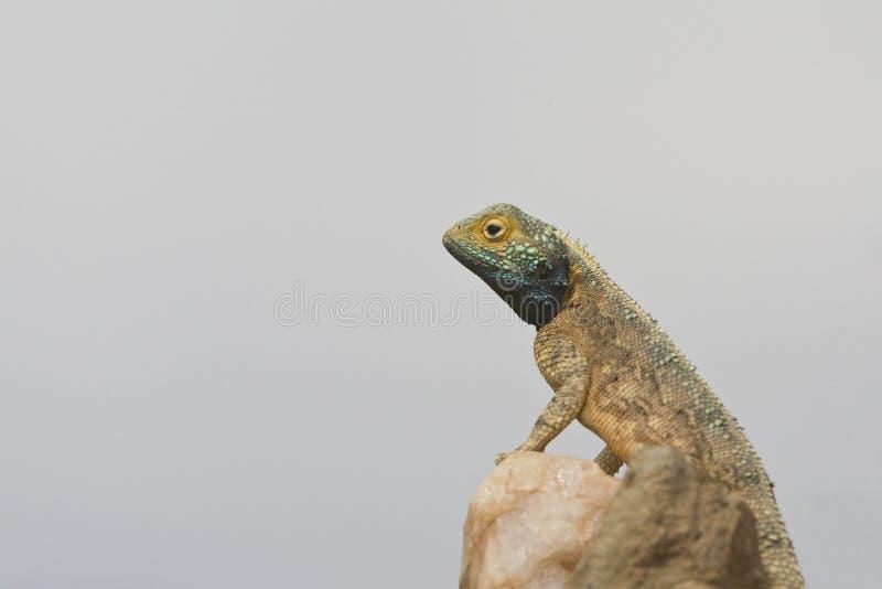 Gemeenschappelijke Doornige Agama, Agama hispida stock foto's