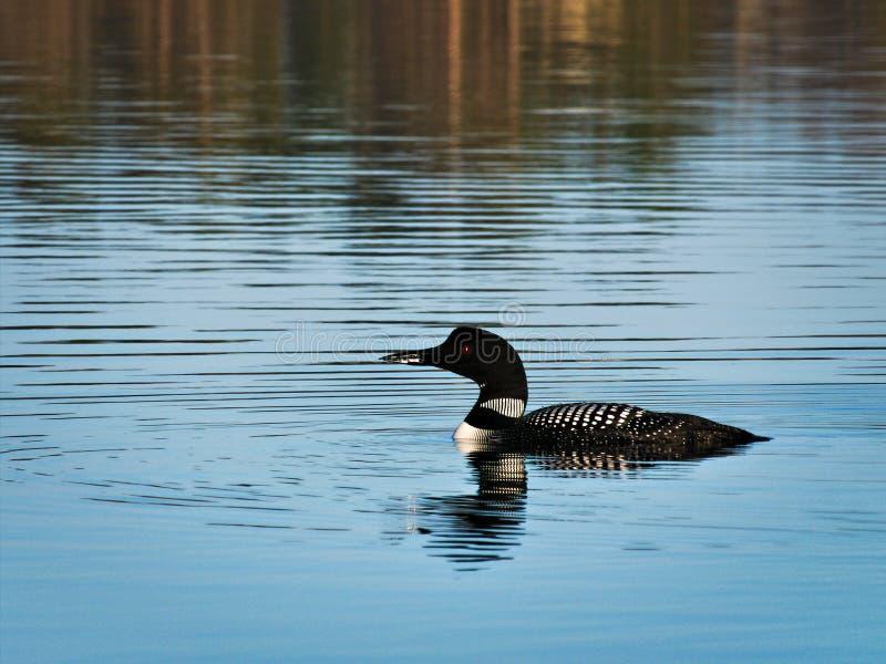 Gemeenschappelijke duiker of grote noordelijke duiker - Gavia immer - de vogel van de staat van Minnesota royalty-vrije stock fotografie