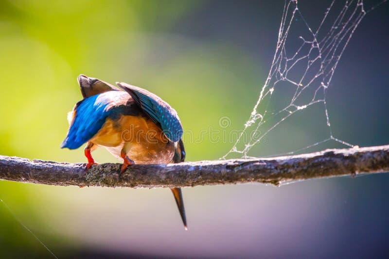 Gemeenschappelijke Europese Ijsvogel of Alcedo-atthis klaar om voor de prooi op te stijgen royalty-vrije stock foto