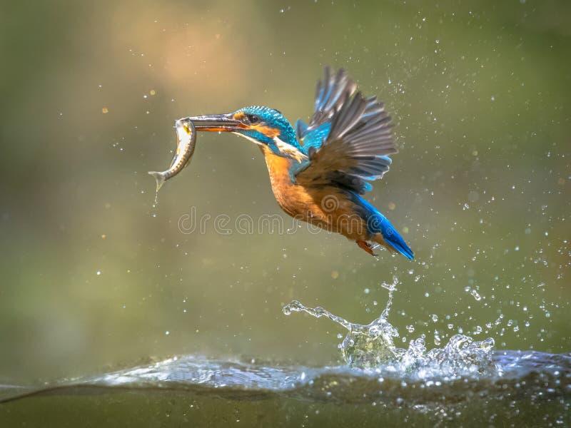 Gemeenschappelijke Europese Ijsvogel die met vissenvangst vliegen stock afbeeldingen
