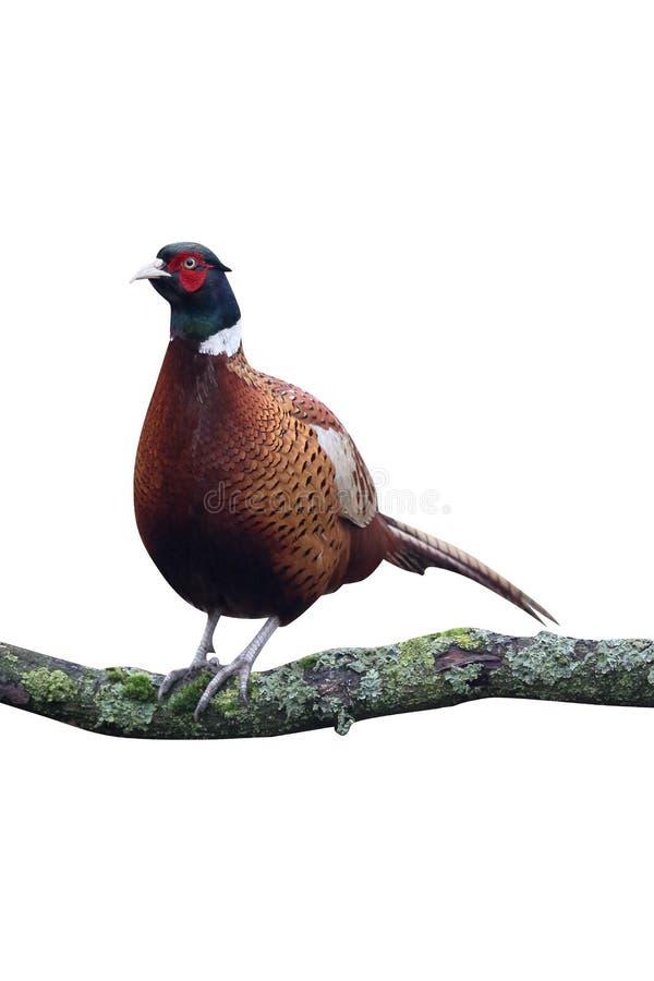 Gemeenschappelijke fazant, phasianuscolchicus stock fotografie