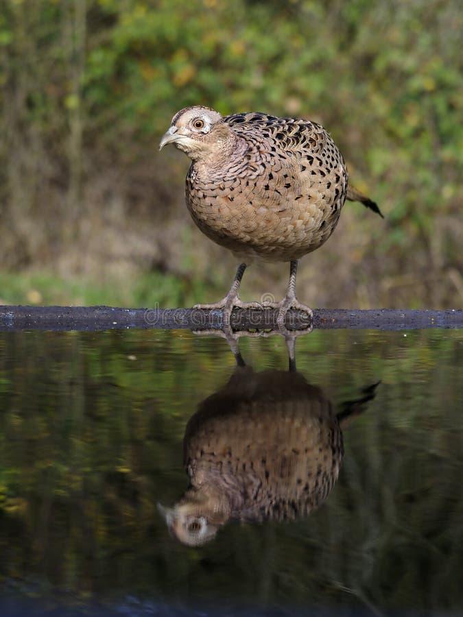 Gemeenschappelijke fazant, phasianuscolchicus royalty-vrije stock afbeelding