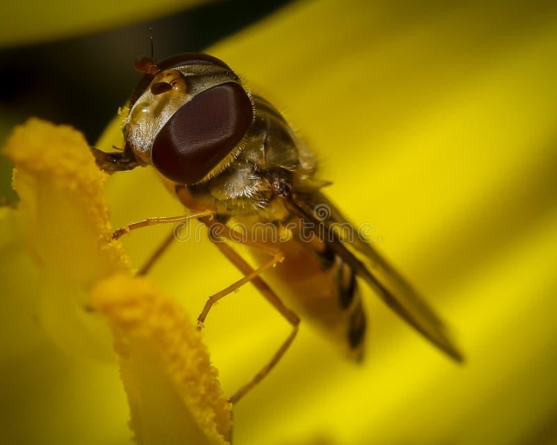 Gemeenschappelijke fruitvlieg stock foto's