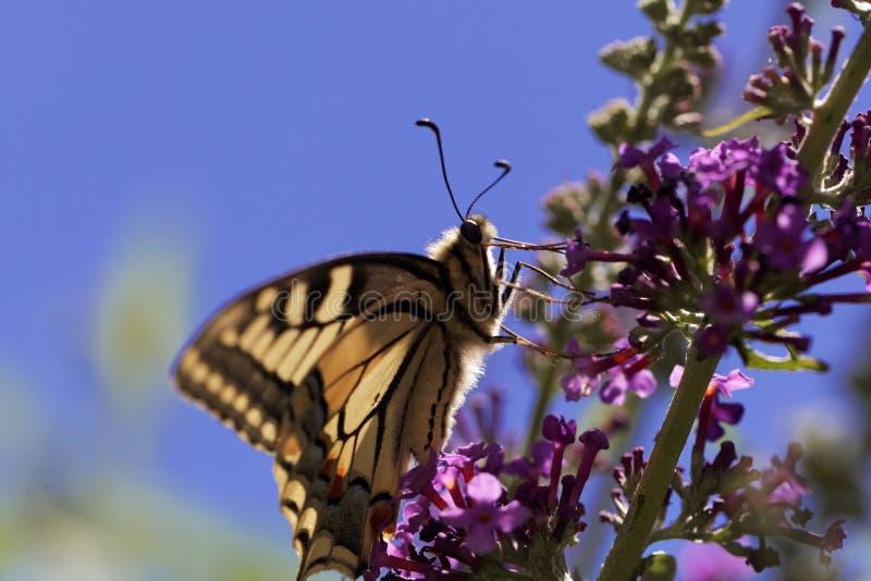Gemeenschappelijke gele swallowtail Papilio machaon stock fotografie