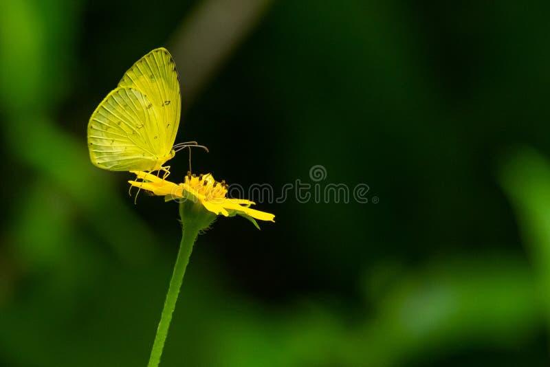 Gemeenschappelijke Gras Gele vlinder gebruikend zijn probostic om nectar van bloem te drinken stock afbeeldingen