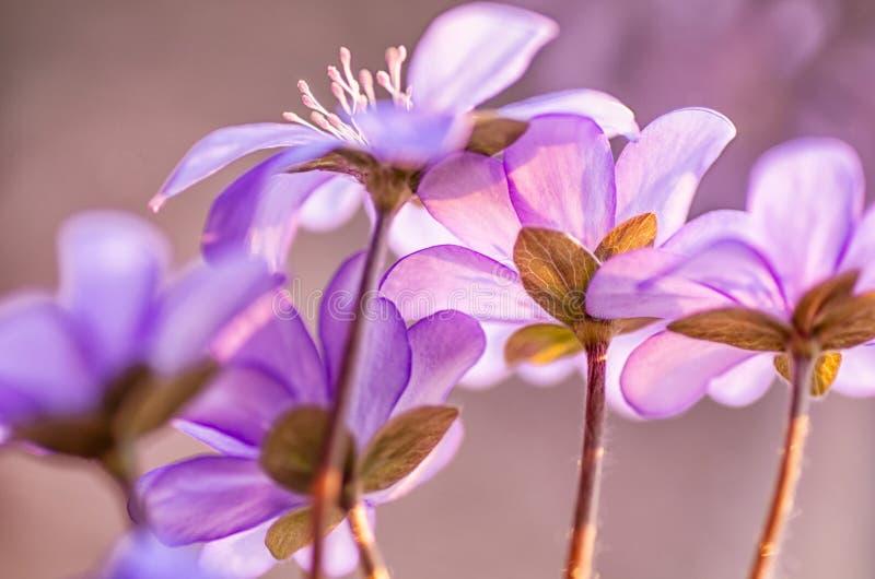 Gemeenschappelijke Hepatica Nobilis van Hepatica Eerste de lentebloem Blauwe bloemen die in April bloeien stock foto's