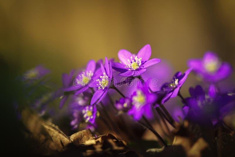 Gemeenschappelijke hepaticas die naar de de lentezon leunen stock foto's