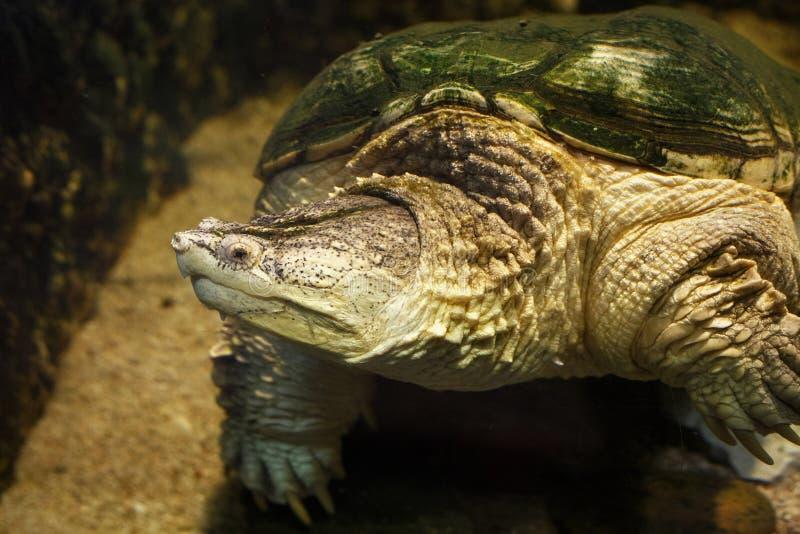 Gemeenschappelijke het breken serpentina van schildpadchelydra stock afbeelding