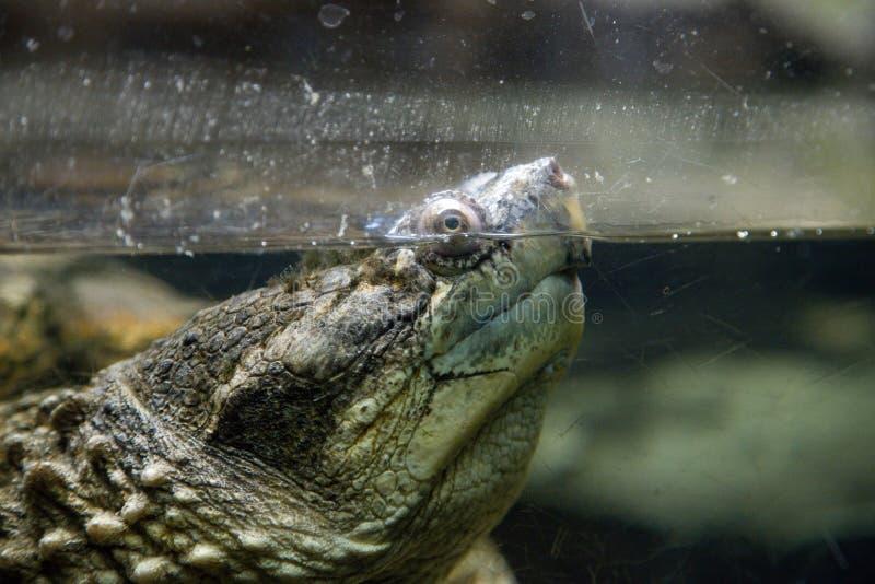 Gemeenschappelijke het breken serpentina van schildpadchelydra royalty-vrije stock afbeelding