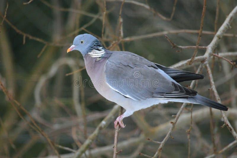 Gemeenschappelijke houten duif royalty-vrije stock foto