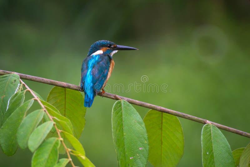 Gemeenschappelijke Ijsvogel op groen blad royalty-vrije stock foto's