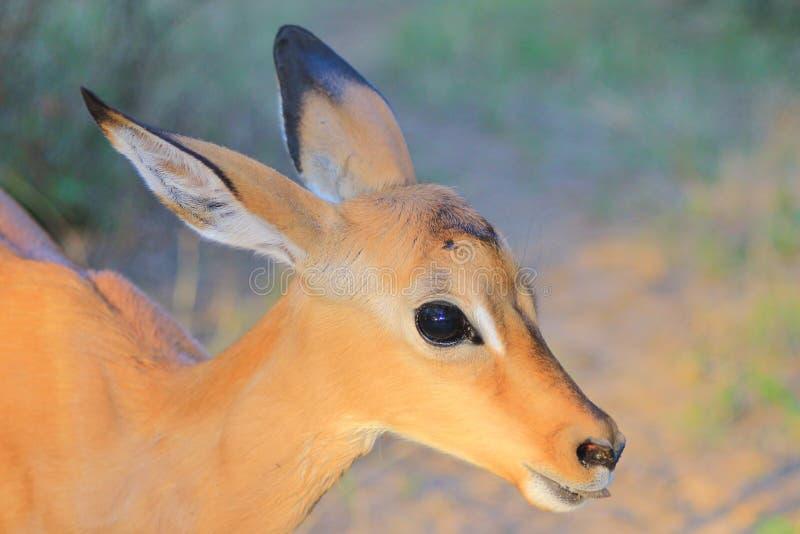 Gemeenschappelijke Impala - Afrikaanse het Wildachtergrond - Babydieren royalty-vrije stock foto's