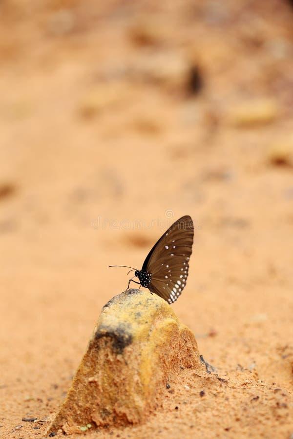 Gemeenschappelijke Indische Kraaivlinder (Euploea-kern Lucus) royalty-vrije stock foto