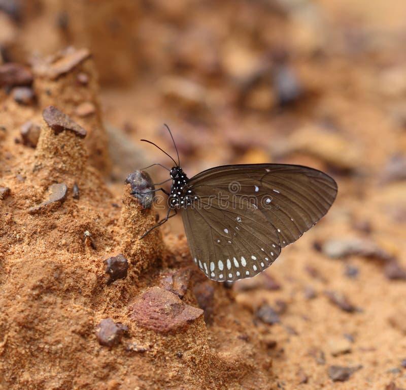 Gemeenschappelijke Indische Kraaivlinder (Euploea-kern Lucus) stock fotografie