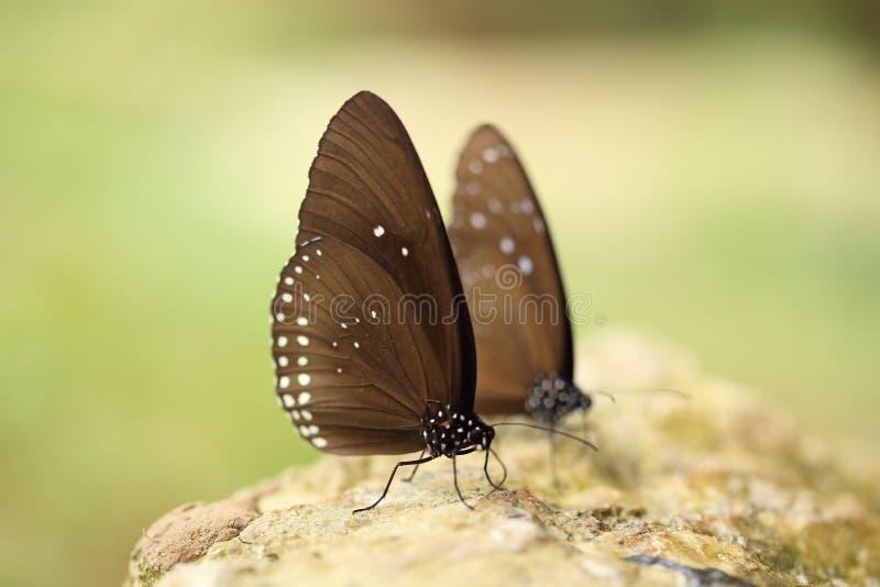 Gemeenschappelijke Indische Kraaivlinder (Euploea-kern Lucus) stock foto's