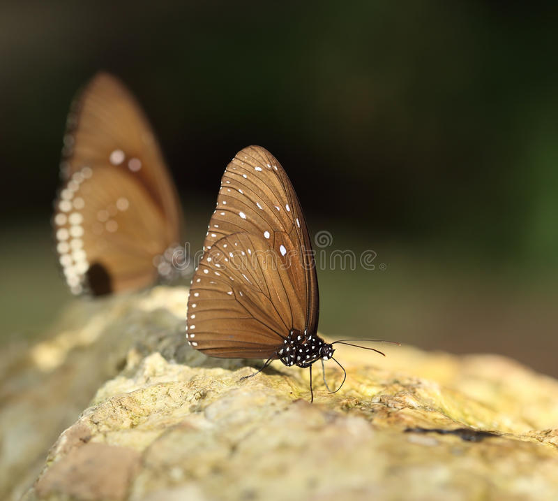 Gemeenschappelijke Indische Kraaivlinder (Euploea-kern Lucus) royalty-vrije stock foto's