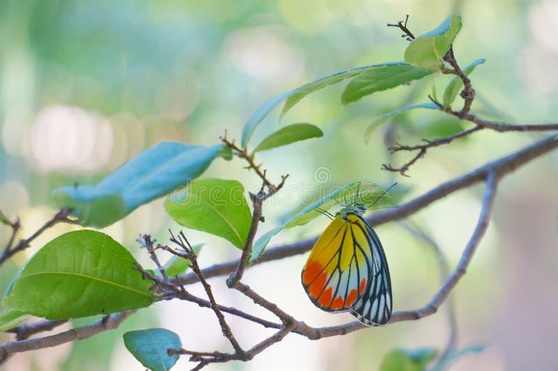 Gemeenschappelijke Jezebel is vlinder met gele en rode vleugels stock fotografie