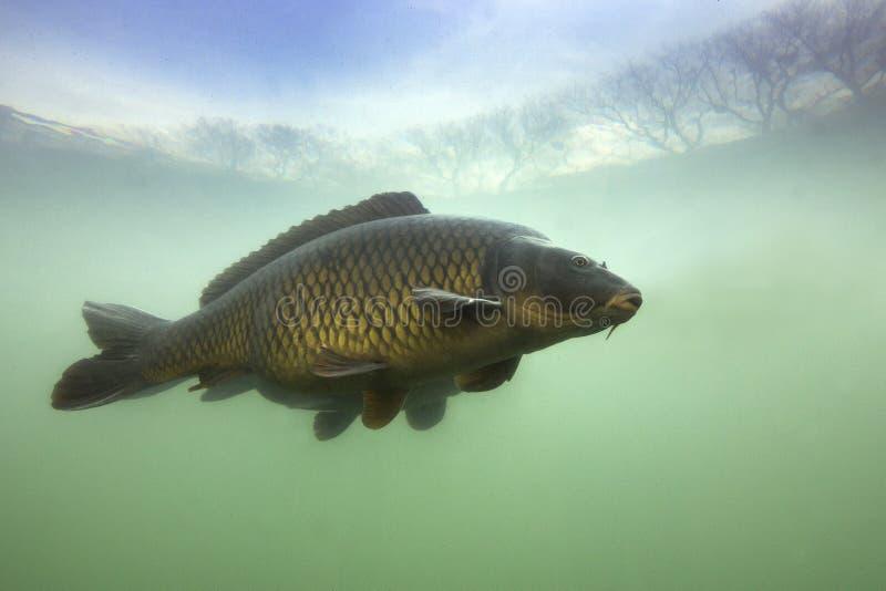 Gemeenschappelijke Karper Cyprinus onderwater carpio royalty-vrije stock foto