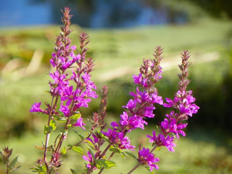 Gemeenschappelijke Kattestaart mooie maar invasieve bloem royalty-vrije stock afbeelding