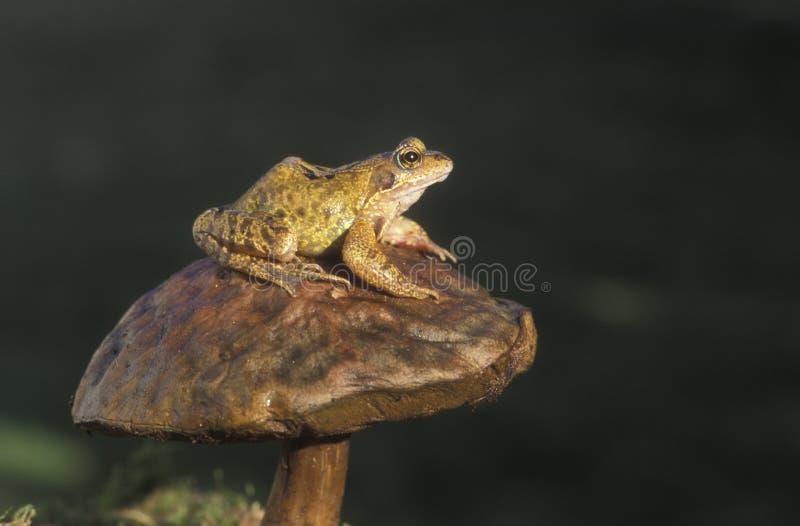 Gemeenschappelijke kikker, Rana-temporaria royalty-vrije stock foto