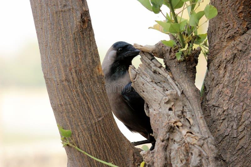 Gemeenschappelijke Kraai & x28; corvus spiendens& x29; stock afbeeldingen