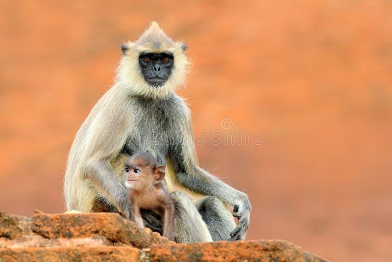 Gemeenschappelijke Langur, Semnopithecus-entellus, aapzitting in gras, aardhabitat, Sri Lanka Het voeden scène met langur Het wil royalty-vrije stock foto's