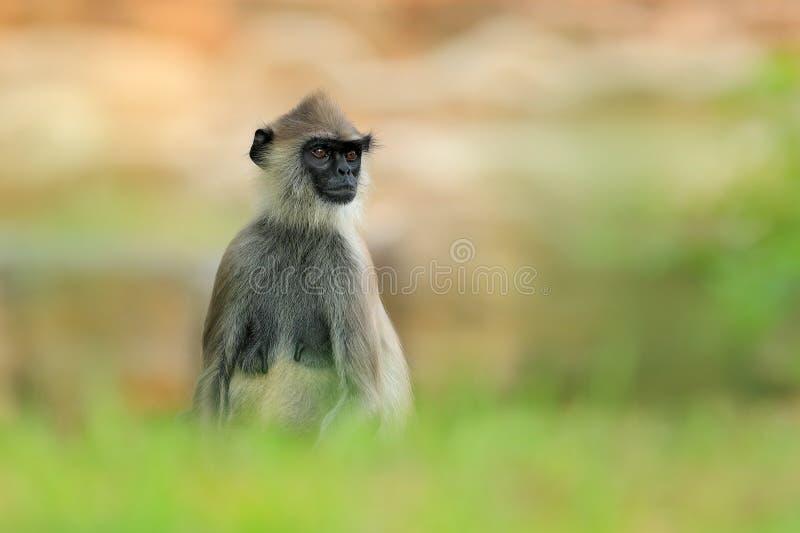 Gemeenschappelijke Langur, Semnopithecus-entellus, aapzitting in gras, aardhabitat, Sri Lanka Het voeden scène met langur Het wil stock foto's