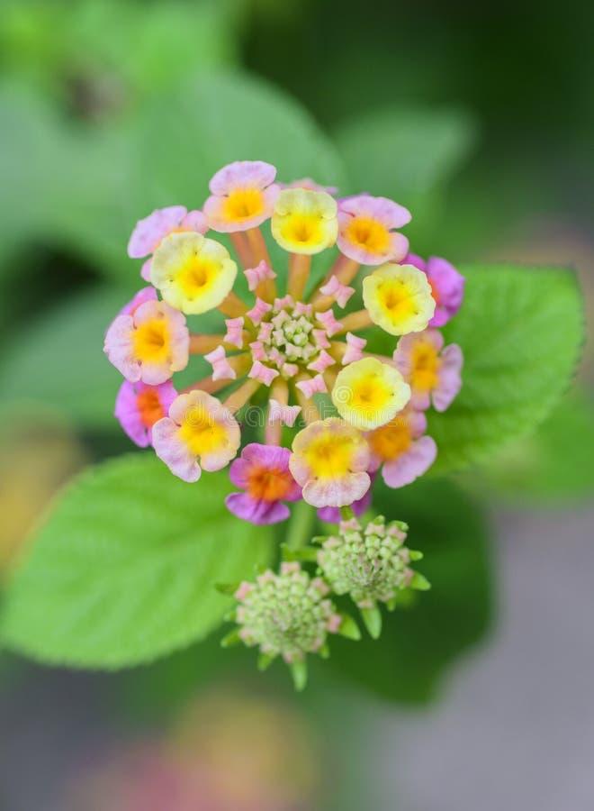 Gemeenschappelijke Lantana-bloemen stock afbeeldingen