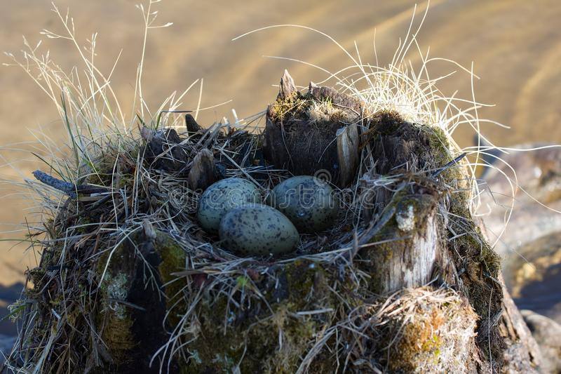 Gemeenschappelijke meeuw gemaakt tot nest bovenop stomp in water royalty-vrije stock foto's