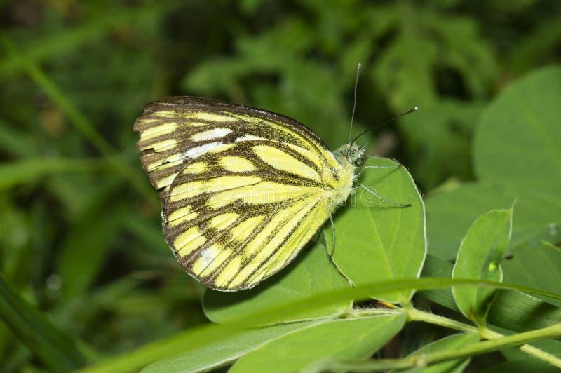 Gemeenschappelijke Meeuwvlinder dichtbij Pune, Maharashtra, India stock afbeelding