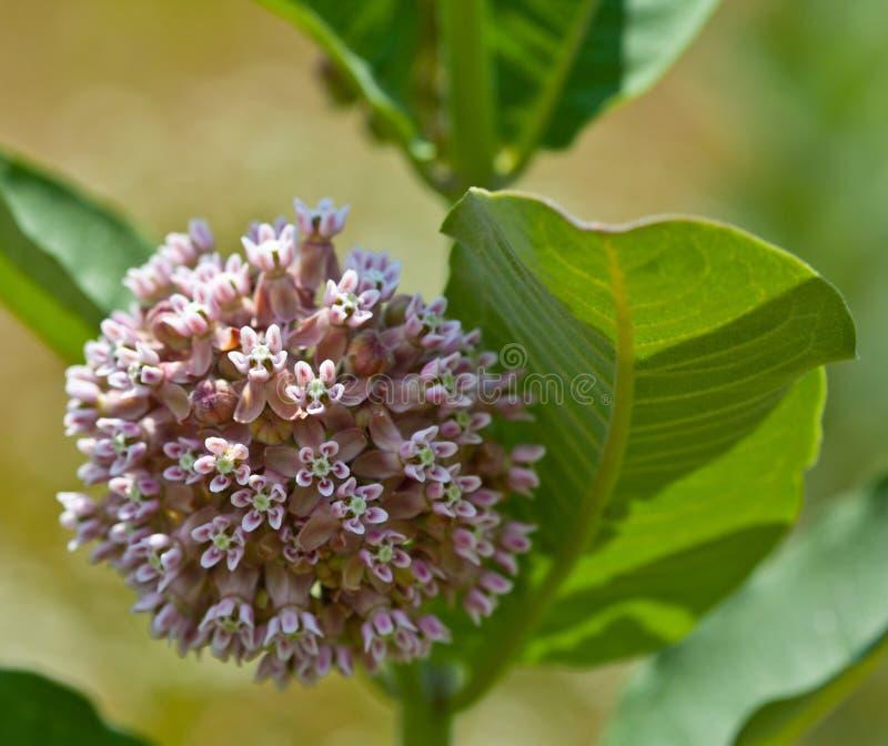 Gemeenschappelijke Milkweed royalty-vrije stock foto's