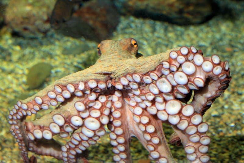 Gemeenschappelijke octopus stock afbeeldingen