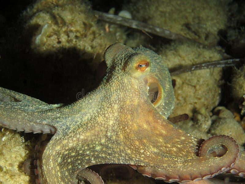 Gemeenschappelijke Octopus royalty-vrije stock foto