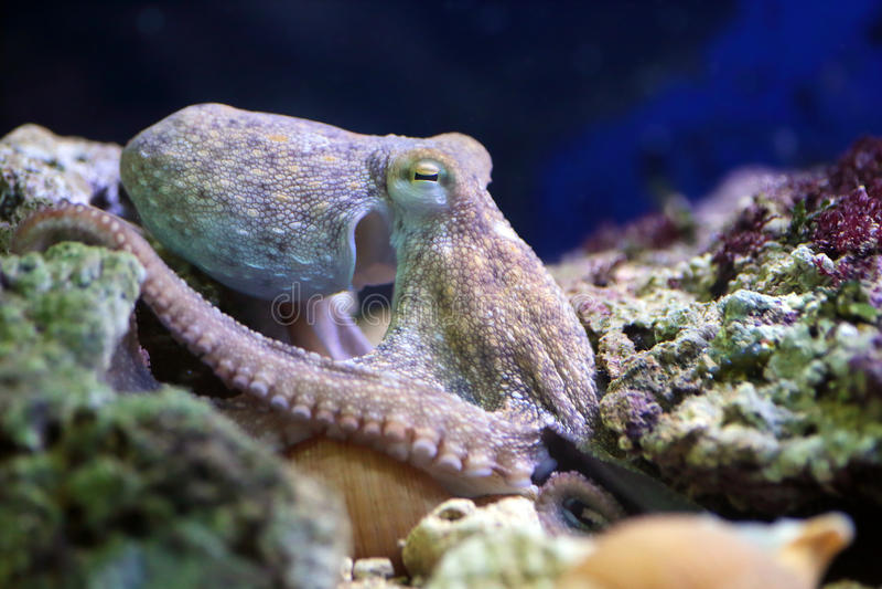 Gemeenschappelijke octopus die op een ertsader rusten royalty-vrije stock foto