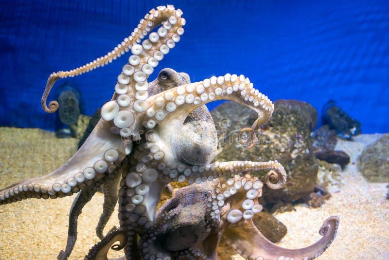 Gemeenschappelijke octopus in zeewateraquarium royalty-vrije stock fotografie