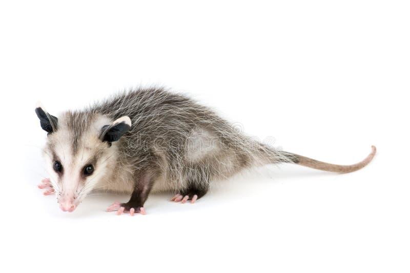 Gemeenschappelijke Opossum stock afbeeldingen