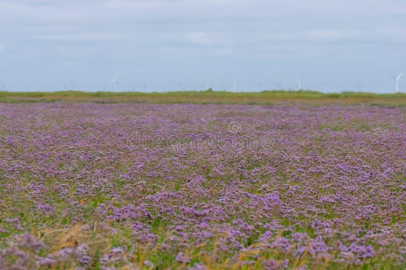 Gemeenschappelijke overzees-lavendel Limonium vulgare in bloem royalty-vrije stock foto
