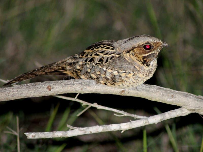 Download Gemeenschappelijke Pauraque In Zuid-Texas Stock Afbeelding - Afbeelding bestaande uit nocturnal, nave: 29512867