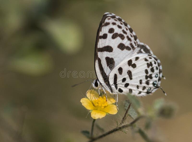 Gemeenschappelijke Pierrotvlinder royalty-vrije stock afbeelding
