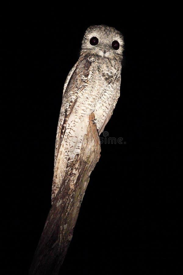 Gemeenschappelijke Potoo, Nyctibius-griseus, nachtelijke tropische vogel tijdens de vlucht met open vleugels, de scène van de nac royalty-vrije stock afbeeldingen