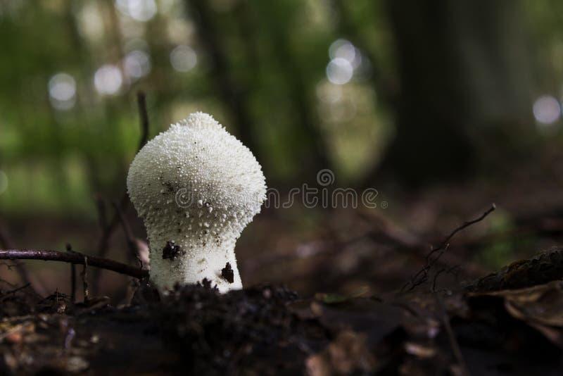 Gemeenschappelijke puffball stock afbeelding
