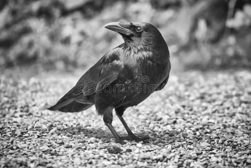 Gemeenschappelijke Raaf, Corvus corax royalty-vrije stock afbeelding