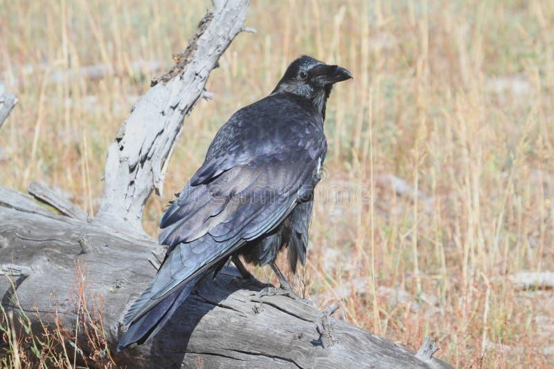 Gemeenschappelijke raaf & x28; Corvus corax& x29; royalty-vrije stock afbeelding