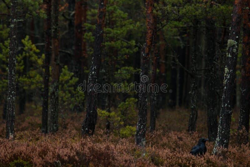 Gemeenschappelijke raaf in donker bos stock foto's